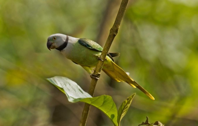 Malabar Parakeet by Brinda Suresh - La Paz Group