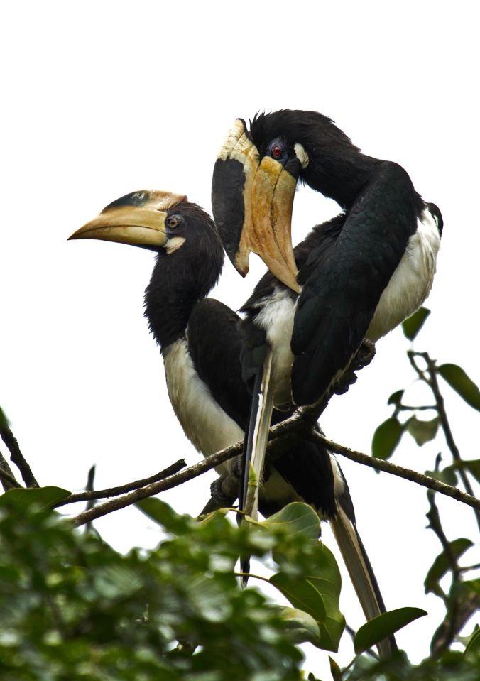 Malabar Pied Hornbill by Brinda Suresh - La Paz Group