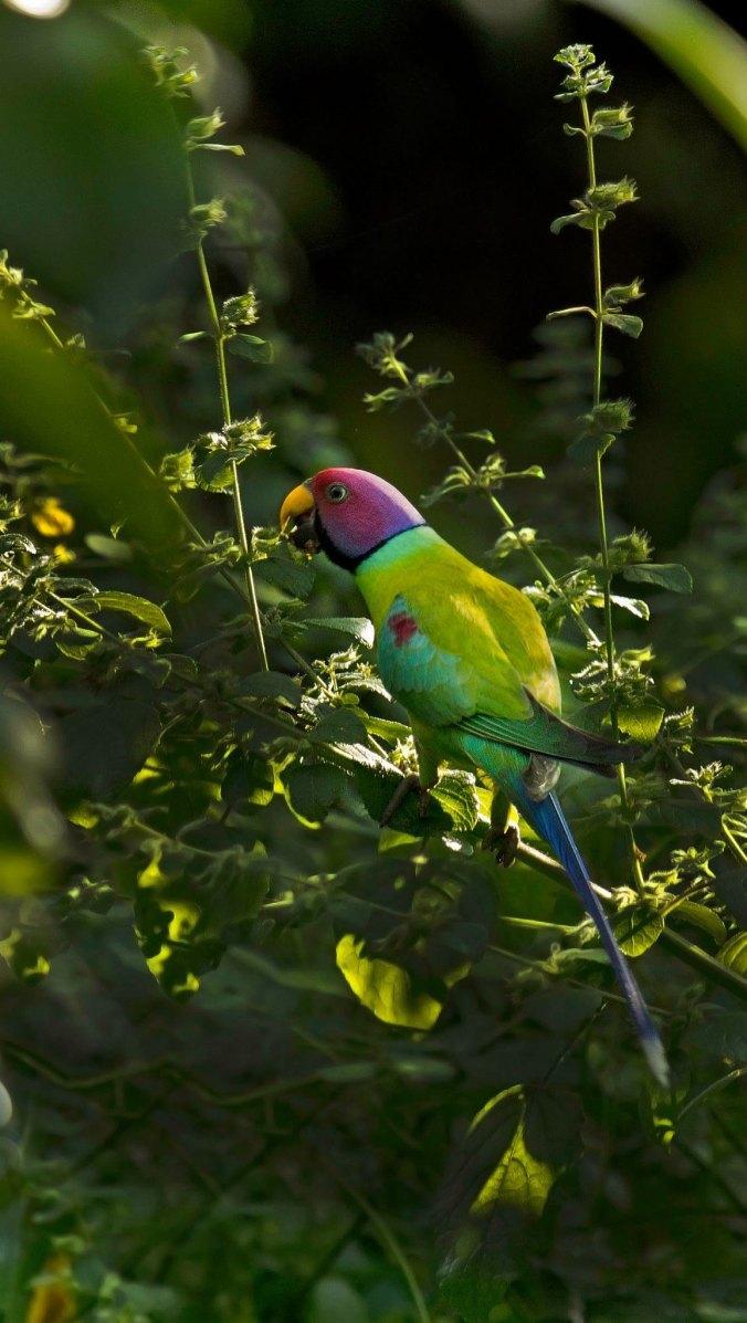 Plum-headed Parakeet by Brinda Suresh - La Paz Group