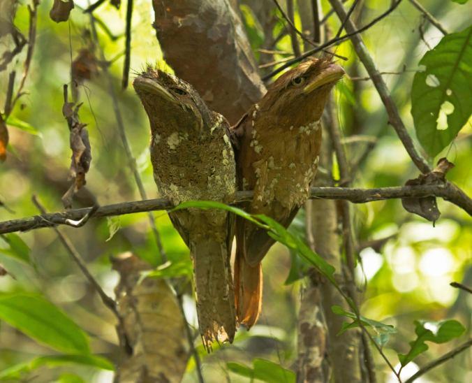 Srilankan Frogmouth by Brinda Suresh - La Paz Group