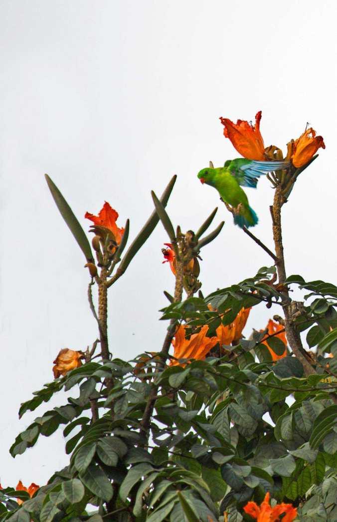 Vernal Hanging Parrot by Brinda Suresh - La Paz Group