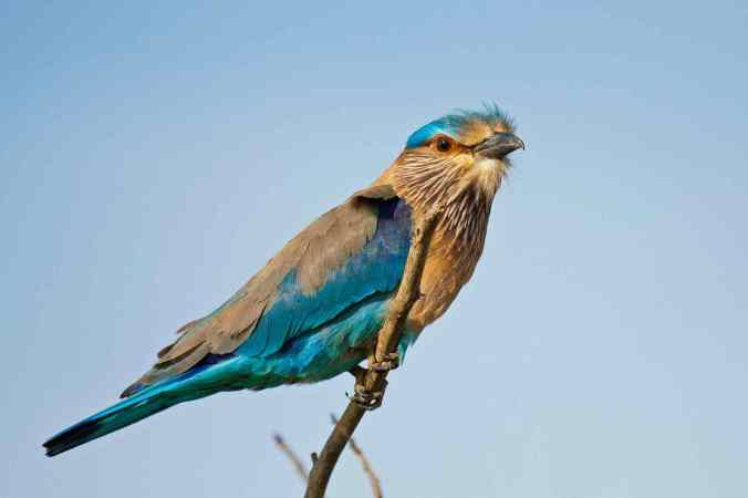 Indian Roller by Brinda Suresh - La Paz Group
