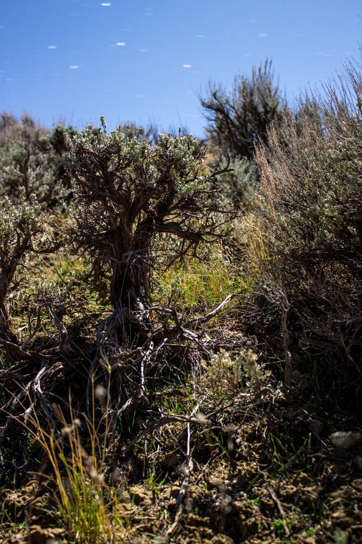 PhotoSingularities: Big Sagebrush in Moonlight (1)
