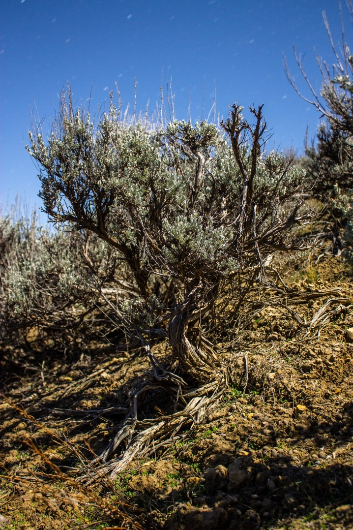 PhotoSingularities: Big Sagebrush in Moonlight (2)