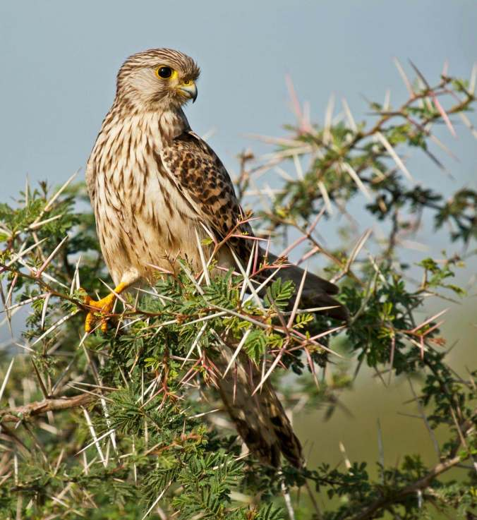 Common Kestrel by Brinda Suresh - La Paz Group