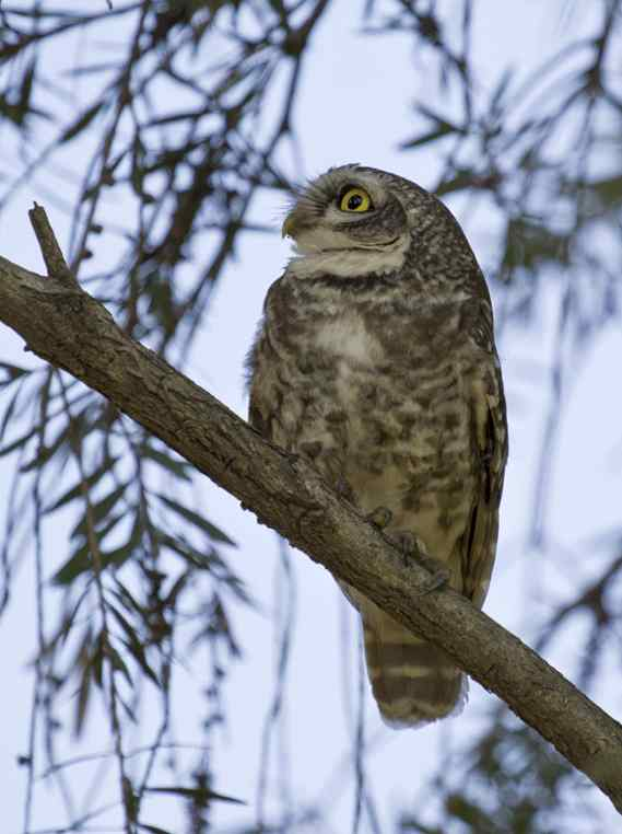 Spotted Owlet by Brinda Suresh - La Paz Group