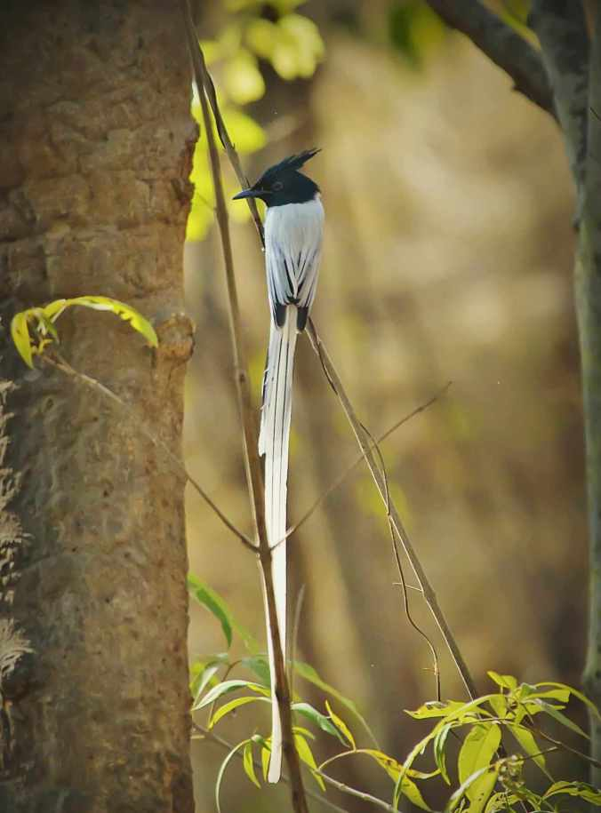 Asian Paradise flycatcher by Anukash - RAXA Collective