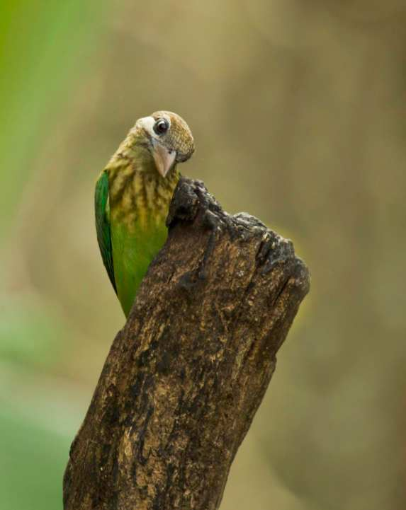 White-cheeked Barbet by Brinda Suresh - La Paz Group