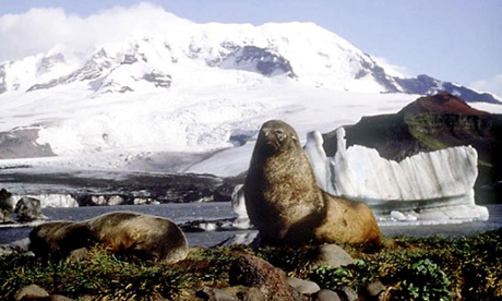 An elephant seals basks on Heard Island. Photograph: Australian Antarctic Division, HO/AP