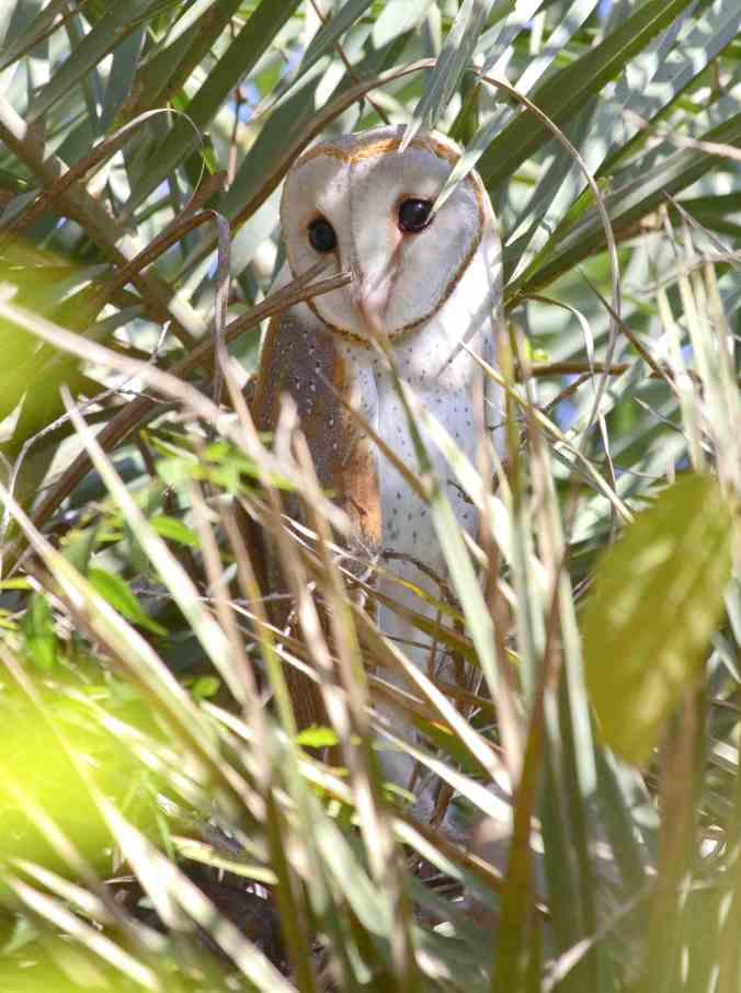 Barn Owl by Anukash - La Paz Group