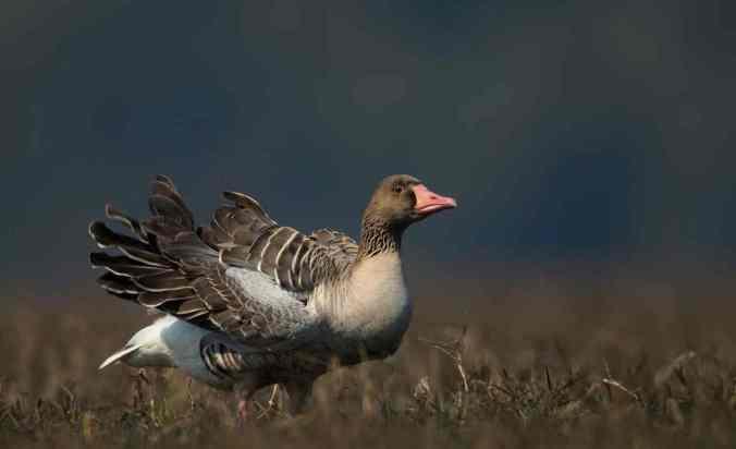 Greylag Goose by Sudhir Shivaram - La Paz Group