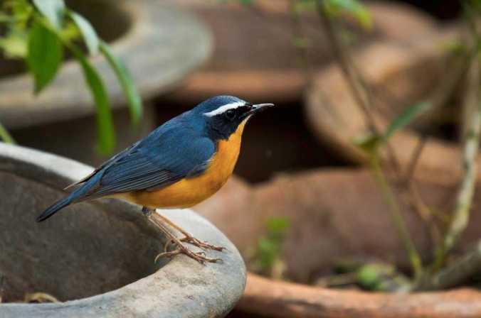 Indian Blue Robin by Brinda Suresh - La Paz Group