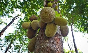 Jackfruit (Artocarpus heterophyllus) growing in Kerala, India. Photograph: Olaf Krüger/Corbis