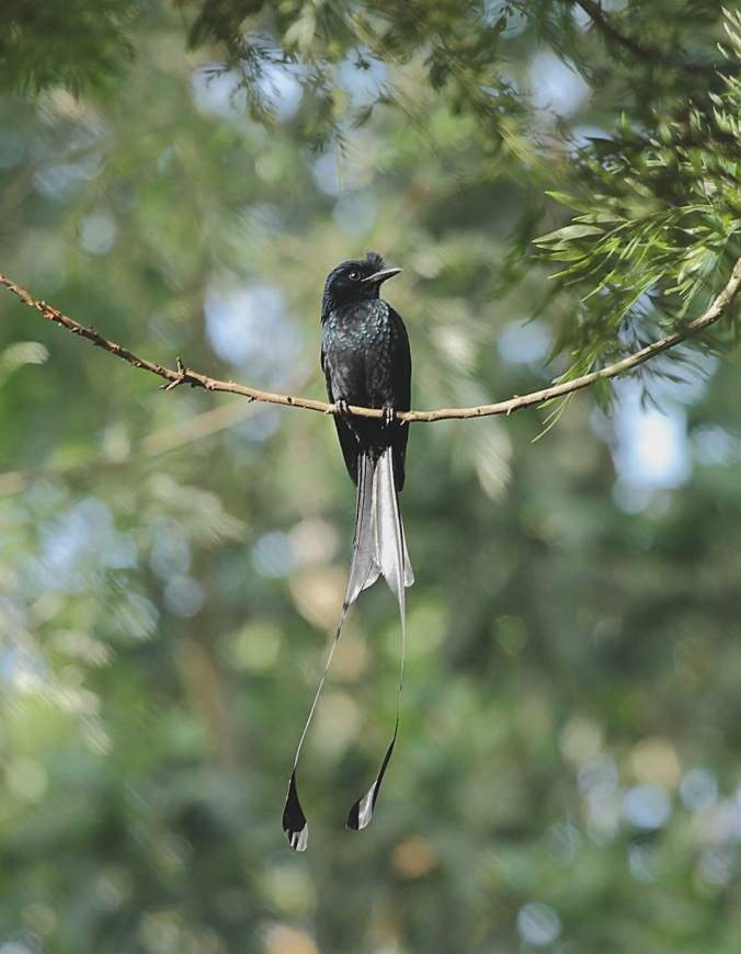 Racket-tailed Drongo by Anukash - La Paz Group