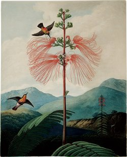 The Large Flowering Sensitive Plant, whose 'plant electricity,' Oliver Sacks writes, 'moves slowly…as one can see by watching the leaflets…closing one by one along a leaf that is touched.' Illustration from Robert John Thornton's The Temple of Flora (1799–1807), published in a new edition by Taschen.
