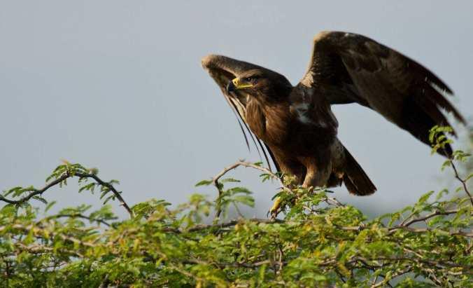 steppe eagle by Brinda Suresh - RAXA Collective