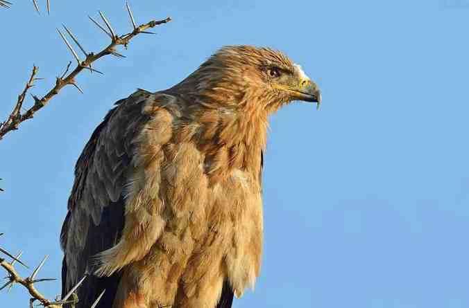 steppe eagle by Dr. Eash Hoskote - La Paz Group