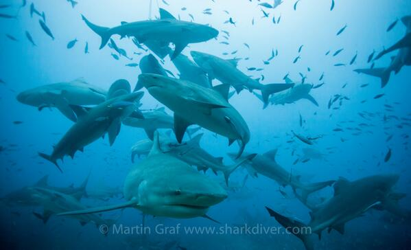 Photo Credit: Martin Graf, Sharkdiver.com