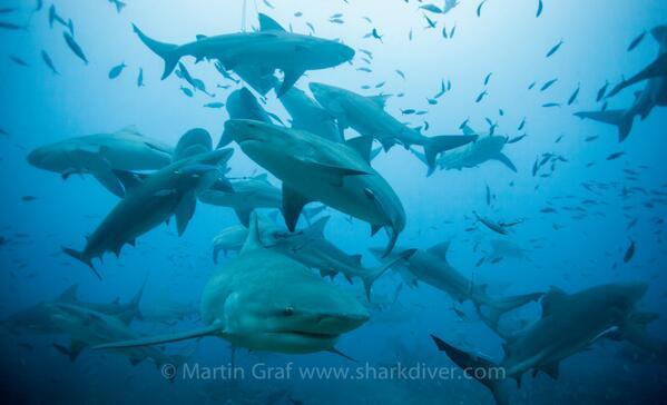 Photo Credit: Martin Graf, Sharkdiver.com