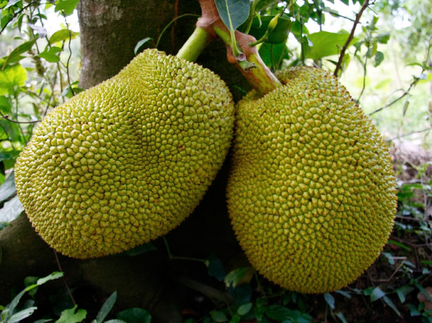 Jackfruits grow on the branches and trunks of tall trees. You don't wait to harvest until they drop of their own accord — by that time, they'd be overripe. iStockphoto