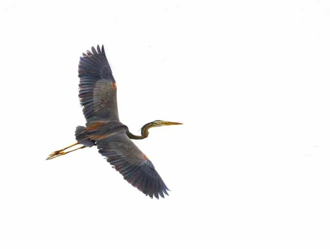 Purple Heron by Brinda Suresh - RAXA Collective