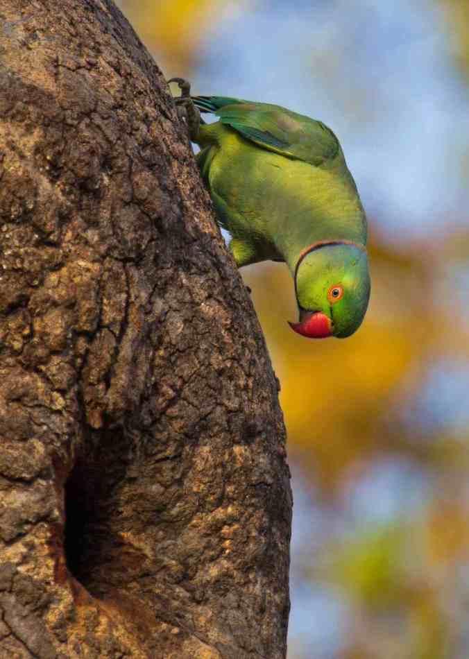 rose-ringed parakeet by Brinda Suresh - RAXA Collective