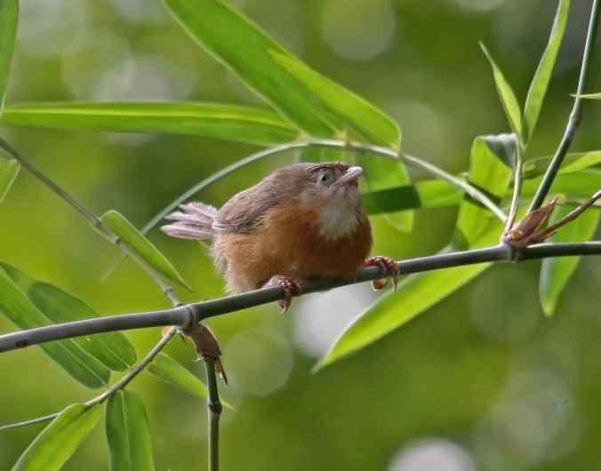 Tawny-bellied Babbler by Brinda Suresh - La Paz Group