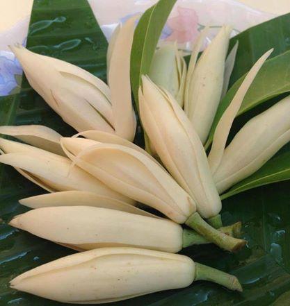 Michelia Champaca The Perfume Magnolia La Paz Group