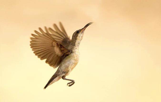Purple-rumped sunbird by Sudhir Shivaram - La Paz Group