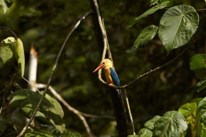 Boat-billed kingfisher by Sophie Orzechowski - La Paz Group