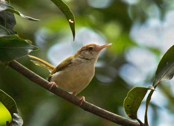 Common Tailorbird by Brinda Suresh - RAXA Collective