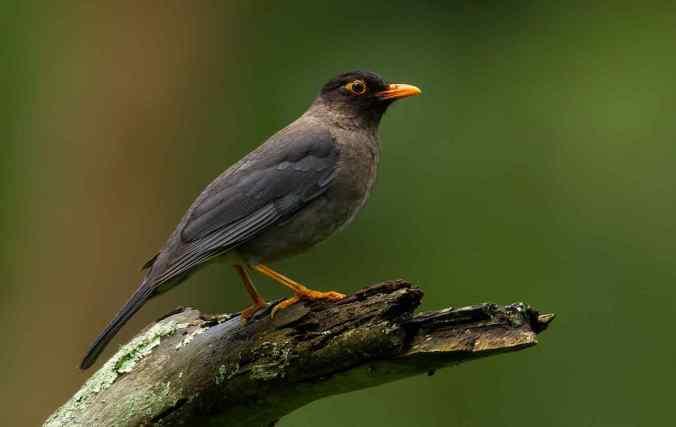 Eurasian Blackbird by Sudhir Shivaram - La Paz Group
