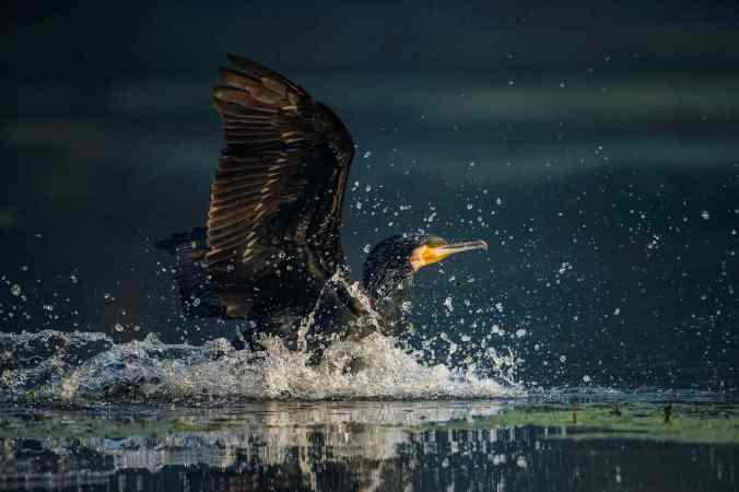 Great Cormorant by Sudhir Shivaram - La Paz Group