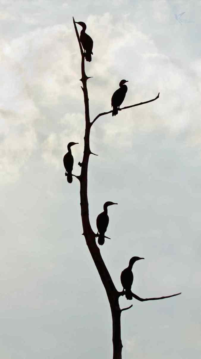 Great Cormorants by Brinda Suresh - RAXA Collective