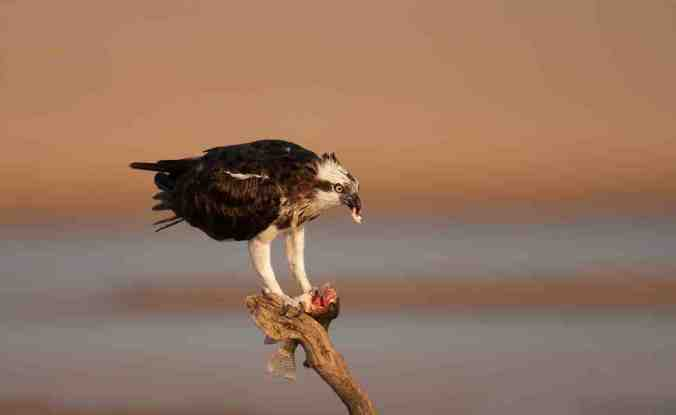 Osprey by Sudhir Shivaram - La Paz Group