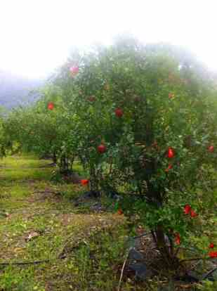 Pomegranate tree at Harvest Fresh Farm. Photo credit: Kayleigh Levitt
