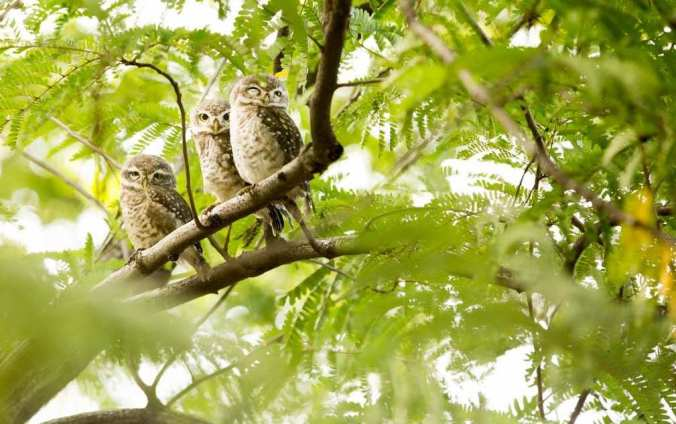 Spotted Owlets by Srinivas Addepalli - La Paz Group