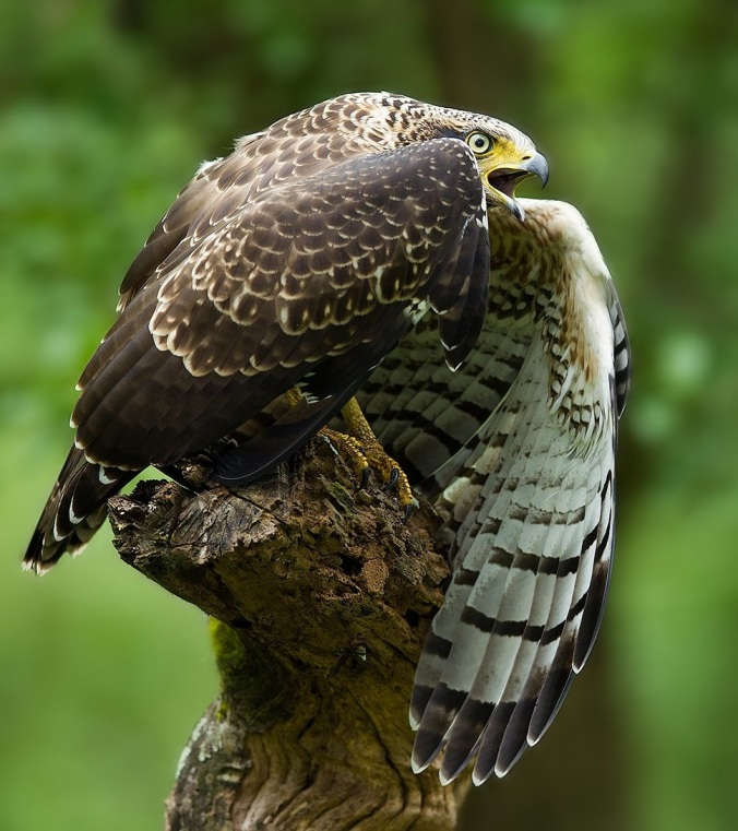 Crested Serpent Eagle by Sudhir Shivaram - La Paz Group