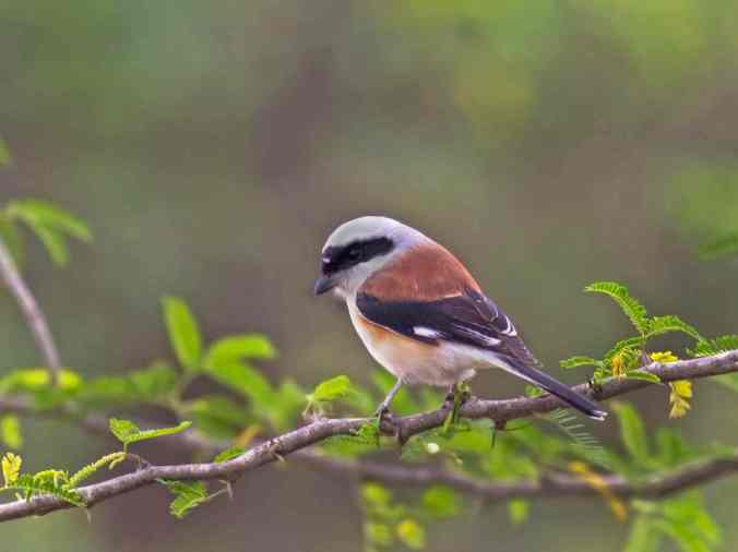 Bay-backed Shrike by Brinda Suresh - La Paz Group