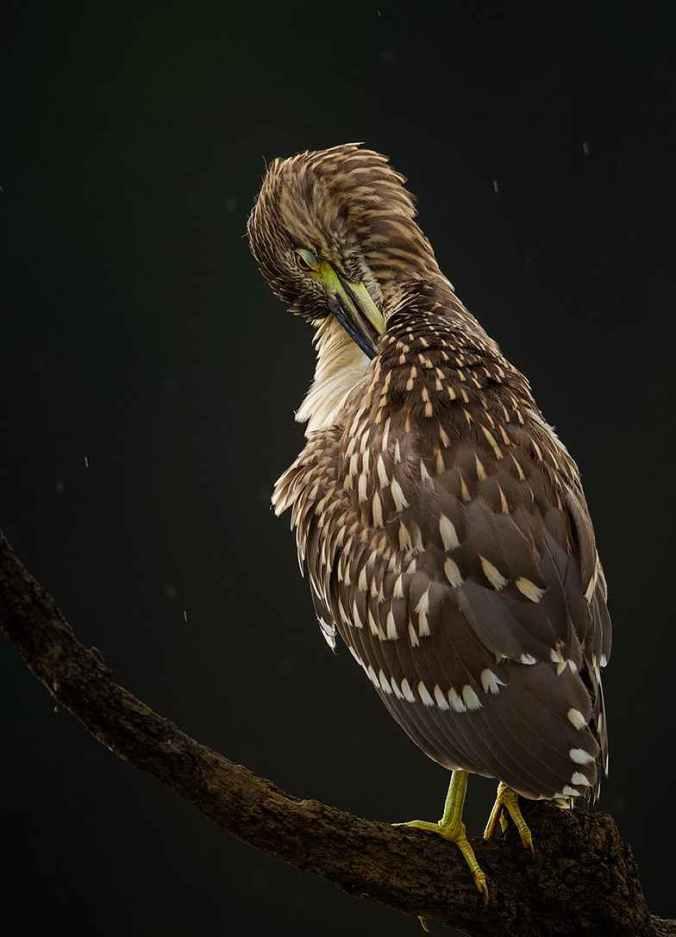 Black-crowned night heron by Sudhir Shivaram - La Paz Group