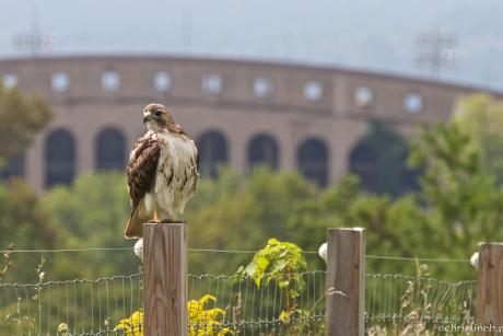Ezra, a red-tailed hawk, perches outside Schoellkopf Stadium. Photo credit, Christine Bogdanowicz.