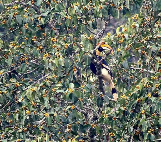 Great Hornbill by Sanjayan Kumar - RAXA Collective