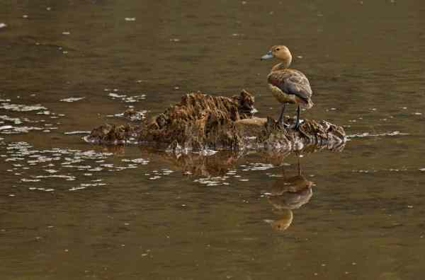 Lesser Whistling Duck by Brinda Suresh - RAXA Collective