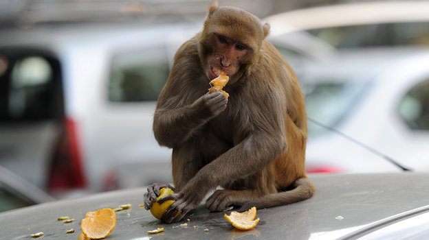 monkeys_delhi2_wide-d22a7520cf5334f80c91291f185119e7a44c6aad-s4-c85