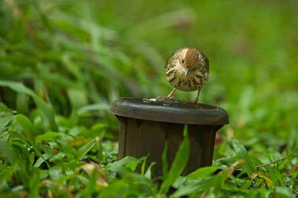 Puff-throated Babbler by Brinda Suresh - RAXA Collective