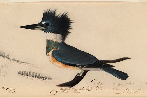 Box 8. L'avocette de Buffon. Near Nantes, France, [1805 or 1806]. 1 drawing : pastel, graphite, and ink on paper ; 47 x 31 cm. Depicts the Avocet (Recurvirostra avosetta) standing on the ground with no background details. Unsigned. Audubon no. 117.