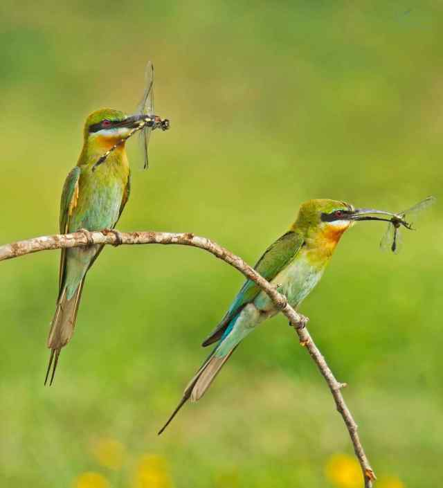 Blue-tailed Bee-eaters by Brinda Suresh - RAXA Collective