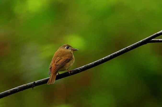 Brown-breasted flycatcher by Sudhir Shivaram - La Paz Group