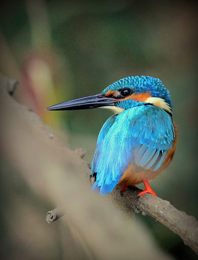 common kingfisher by Anukash - La Paz Group