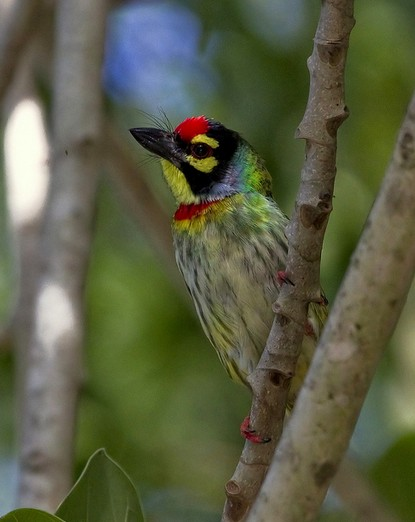 Coppersmith Barbet by Anukash - La Paz Group